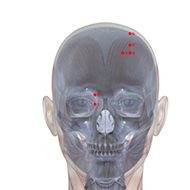 BL02 Bladder Meridian Acupuncture Point - Skeletal / Skeleton level.