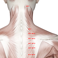 BL11 Bladder Meridian Acupuncture Point - Muscular / Muscle level.