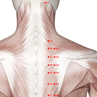 BL12 Bladder Meridian Acupuncture Point - Muscular / Muscle level.