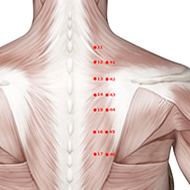 BL14 Bladder Meridian Acupuncture Point - Muscular / Muscle level.