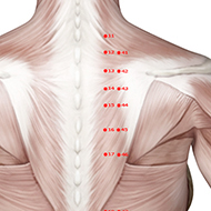 BL15 Bladder Meridian Acupuncture Point - Muscular / Muscle level.