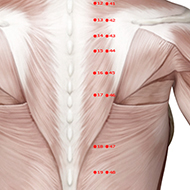 BL17 Bladder Meridian Acupuncture Point - Muscular / Muscle level.