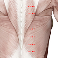 BL18 Bladder Meridian Acupuncture Point - Muscular / Muscle level.