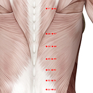 BL19 Bladder Meridian Acupuncture Point - Muscular / Muscle level.