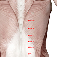 BL20 Bladder Meridian Acupuncture Point - Muscular / Muscle level.