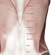 BL21 Bladder Meridian Acupuncture Point - Muscular / Muscle level.