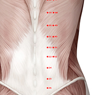 BL22 Bladder Meridian Acupuncture Point - Muscular / Muscle level.
