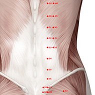 BL23 Bladder Meridian Acupuncture Point - Muscular / Muscle level.