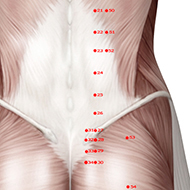BL25 Bladder Meridian Acupuncture Point - Muscular / Muscle level.