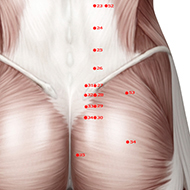 BL28 Bladder Meridian Acupuncture Point - Muscular / Muscle level.