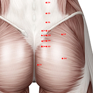BL30 Bladder Meridian Acupuncture Point - Muscular / Muscle level.