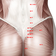BL31 Bladder Meridian Acupuncture Point - Muscular / Muscle level.