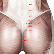 BL33 Bladder Meridian Acupuncture Point - Muscular / Muscle level.