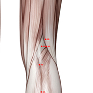 BL39 Bladder Meridian Acupuncture Point - Muscular / Muscle level.