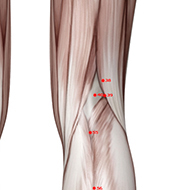 BL40 Bladder Meridian Acupuncture Point - Muscular / Muscle level.