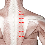 BL43 Bladder Meridian Acupuncture Point - Muscular / Muscle level.