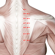 BL44 Bladder Meridian Acupuncture Point - Muscular / Muscle level.