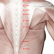 BL46 Bladder Meridian Acupuncture Point - Muscular / Muscle level.