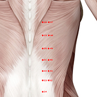 BL49 Bladder Meridian Acupuncture Point - Muscular / Muscle level.