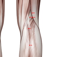 BL55 Bladder Meridian Acupuncture Point - Muscular / Muscle level.