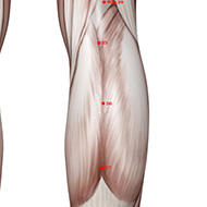 BL56 Bladder Meridian Acupuncture Point - Muscular / Muscle level.