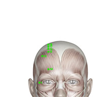 GB16 Gallbladder Meridian Acupuncture Point - Muscular / Muscle level.
