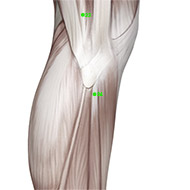 GB34 Gallbladder Meridian Acupuncture Point - Muscular / Muscle level.
