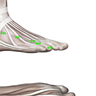 GB44 Gallbladder Meridian Acupuncture Point - Muscular / Muscle level.