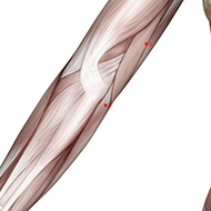 HT03 Heart Meridian Acupuncture Point - Muscular / Muscle level.