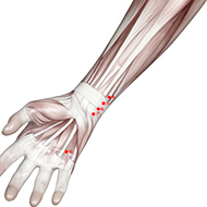 HT05 Heart Meridian Acupuncture Point - Muscular / Muscle level.