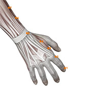 LI03 Large Intestine Meridian Acupuncture Point - Muscular / Muscle level.