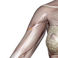 LI14 Large Intestine Meridian Acupuncture Point - Muscular / Muscle level.
