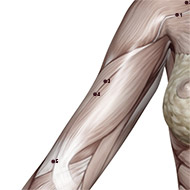 LU04 Lung Meridian Acupuncture Point - Muscular / Muscle level.