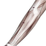 LU06 Lung Meridian Acupuncture Point - Muscular / Muscle level.