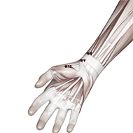 LU10 Lung Meridian Acupuncture Point - Muscular / Muscle level.