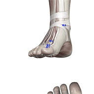 LV01 Liver Meridian Acupuncture Point - Muscular / Muscle level.