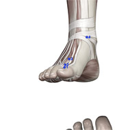 LV02 Liver Meridian Acupuncture Point - Muscular / Muscle level.