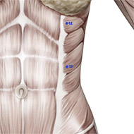 LV13 Liver Meridian Acupuncture Point - Muscular / Muscle level.