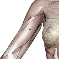 PC02 Pericardium Meridian Acupuncture Point - Muscular / Muscle level.