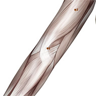 PC03 Pericardium Meridian Acupuncture Point - Muscular / Muscle level.