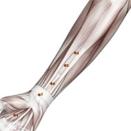 PC05 Pericardium Meridian Acupuncture Point - Muscular / Muscle level.