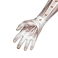 PC08 Pericardium Meridian Acupuncture Point - Muscular / Muscle level.