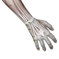 SI04 Small Intestine Meridian Acupuncture Point - Muscular / Muscle level.
