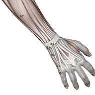 SI05 Small Intestine Meridian Acupuncture Point - Muscular / Muscle level.