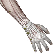 SI06 Small Intestine Meridian Acupuncture Point - Muscular / Muscle level.