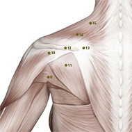 SI11 Small Intestine Meridian Acupuncture Point - Muscular / Muscle level.