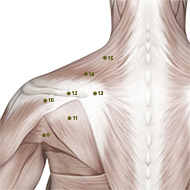 SI13 Small Intestine Meridian Acupuncture Point - Muscular / Muscle level.