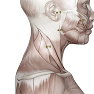 SI16 Small Intestine Meridian Acupuncture Point - Muscular / Muscle level.