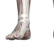 SP05 Spleen Meridian Acupuncture Point - Muscular / Muscle level.