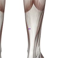 SP06 Spleen Meridian Acupuncture Point - Muscular / Muscle level.